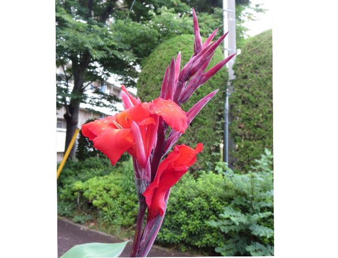 カンナ」 赤いカンナなの花咲け...